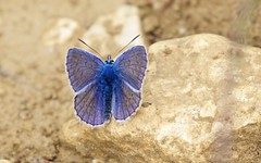 Azuré bleu céleste (Lysandra - bellargus) - IMG_2486 (6franc6) Tags: 30 canon rando explore mai languedoc gard balade 2015 6franc6 eos7dmarkii ef100400f4556lisiiusm