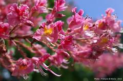 Chestnut in blossom (Franois & Marie) Tags: blossom chestnut marronnier