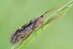 Phryganea bipunctata (Prajzner) Tags: morning macro nature insect nikon sigma naturallight manfrotto insecta sigma105mmmacro caddisfly trichoptera subcarpathia nikond7100 manfrottomt190xpro3 phryganeabipunctata