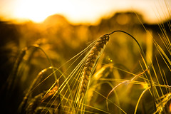 Nature sunset (Zeeyolq Photography) Tags: agriculture bl bretagne cereals champ corn environment field france nature sunset milizac