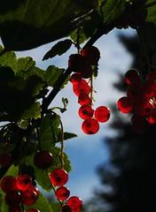 Rote Johannisbeeren; Bergenhusen, Stapelholm (8) (Chironius) Tags: stapelholm bergenhusen schleswigholstein deutschland germany allemagne alemania germania    ogie pomie szlezwigholsztyn niemcy pomienie frucht fruit frutta owoc fruta  frukt meyve    buah rot saxifragales steinbrechartige grossulariaceae stachelbeergewchse ribes