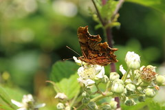 Comma (Tony Howsham) Tags: insect butterfly carltonmarshes carlton marshes canon eos 70d sigma 18250