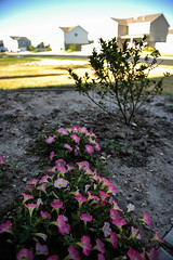 160726-flowers-bed-houses-neighborhood.jpg (r.nial.bradshaw) Tags: 2470mm28 adobecameraraw attributionlicense creativecommons d4 fullframe fxformat image nikkor2470f28originalworkhorsemodel nikon photo probono probonopublico rnialbradshaw royaltyfree stockphoto stockphotography thezoomthatcould