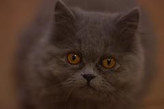 Portrait (siinestesiia) Tags: nikon nikond5200 nikkor 50mm 50mmlens photografa photographie photography portrait cat kitty kitten gatita gata