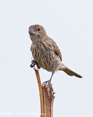 Female House Finch (dcstep) Tags: housefinch female englewood colorado unitedstates us y6a7173dxo allrightsreserved copyright2016davidcstephens dxoopticspro11 nature urban urbannature finch bird cherrycreekstatepark canon7dmkii ef500mmf4lisii