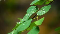 Droplets of Water on a Leaf shot on a Rainy Day. (rohansrinivas) Tags: travel usa macro tree green nature water rain canon utah droplets leaf wanderlust zoomlens zoomshot rebelxsi visitutah exploreutah
