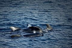 La familia Caldern (la Ballena Piloto del Estrecho) (Retratista de paisajes y paisanajes) Tags: espaa fish spain dolphin andalucia whale risso ballena tarifa calderon cetaceos estrechodegibraltar