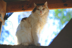 luna. (iampaulablue) Tags: pets animals cat canon kitty luna gato animales amateur mascotas