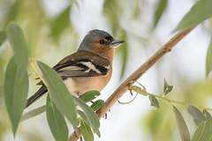 9O6A1840-10Pinson des arbres (Fringilla coelebs) (qpable) Tags: bird oiseau fringillacoelebs commonchaffinch pinsondesarbres fringillids passriformes
