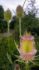 bees at work (stauffi2012) Tags: nature handy bees flash ngc natur samsung bee honey blitz spitz biene pointed bienen halde