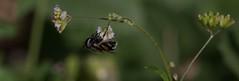 Rock-A-Bye Fly (harefoot1066) Tags: nyctaginaceae boerhavia spiderling boerhaviaerecta erectspiderling diptera aschiza syrphidae eristalinae volucellini copestylum copestylummarginatumgroup syrphidfly
