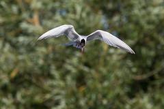untitled (robwiddowson) Tags: nature tern bird birds animal animals fly flying flight wildlife robertwiddowson photo photograph photography imge picture