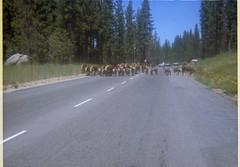 S. Lake Tahoe - Cattle Drive - 1970 (tonopah06) Tags: instamatic print sierra sierranevada tahoe southlaketahoe laketahoe pioneertrail herding herd cattle ca california 1970 cattledrive eldoradocounty eldorado livestock carsonvalley