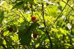 Himbeere (Rubus idaeus) in Bergenhusen; Stapelholm (4) (Chironius) Tags: stapelholm bergenhusen schleswigholstein deutschland germany allemagne alemania germania    ogie pomie szlezwigholsztyn niemcy pomienie frucht fruit frutta owoc fruta  frukt meyve    buah rosids fabids rosales rosenartige rosaceae rosengewchse rosoideae rubus