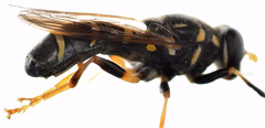 11.7 mm male wasp mimic syrphid (ophis) Tags: diptera aschiza syrphidae eristalinae milesiini temnostomina temnostoma temnostomabalyras mimic waspmimic