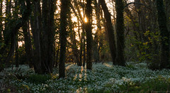 'Two Suns' Wild Garlic Woods, Exmoor, UK (EmPhoto.) Tags: canon70d exmoor woodland deciduous wildgarliccarpet twosuns nature emmiejgee landscapepassion wildflower