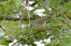 Philadelphia Vireo (av8s) Tags: philadelphiavireo vireo songbirds perchingbirds birds wildlife nature photography nikon d7100 sigma 120400mm mageemarsh ohio oh