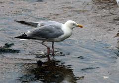 Herring Gull (4) (grahamh1651) Tags: newlyn newlynharbour tolcarne birds seabirds gulls swans waders shorebirds
