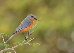 Silverbird (Flycatcher) (JDA-Wildlife) Tags: ugandaafrica2016 uganda africa nikon nikond7100 tamronsp150600mmf563divc jdawildlife johnny flycatchersilverbird whatbirdugandaafrica wow murchisonfallsnationalparkuganda