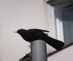(Lalallallala) Tags: suomi finland outdoors helsinki tl bird wildlife blackbird turdusmerula mustarastas