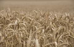Almost ready for Harvest (marc_morris1982) Tags: canoneos700d canonuk canoneos canon700 eos700d canterbury kent uk england sigma18200 sigmadg 18200 18200mm harvest farming farm wheat corn crop outdoors outside orange golden dof depthoffield