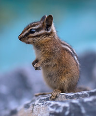 Chipmunk (Robert Ron Grove 2) Tags: chipmunk wildlife baby young cute adorable pose rodent robertgrove