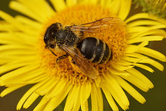 Andrena flavipes, female, Ploegsteert on Pulicaria dysenterica (henk.wallays) Tags: