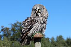 Great Grey Owl (Rick & Bart) Tags: mondesauvage birdofprey animal aywaille zoo safari belgique belgie rickvink rickbart canon eos70d bird owl greatgreyowl laplanduil gününeniyisi thebestofday