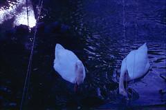 San Anton Gardens, august 2014 (Tefilo de Sales) Tags: malta garden san anton gardens sanantongardens summer film fuji fujifilm fujixtra400 nikkormatel nikkormat nikon nikkor 50mm 35mm expired water pond fountain bird trip erasmus