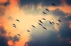 Wild Geese (frankmh) Tags: flight geese hittarp evening skne sweden outdoor bird