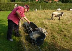 A helping hand (joeke pieters) Tags: 1290515 panasonicdmcfz150 helpen helpinghand jac husband geit goat schaap sheep achterhoek gelderland nederland netherlands holland hek fence hff