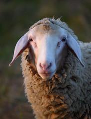 Sheep_01616 (tombomba2) Tags: 30040evr 300mm nikkor nikon objektive schafe tiere vr animals f40 fullresolution lenses sheep altdorf bayern deutschland