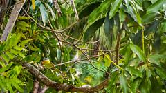 DSC_5409 (sergeysemendyaev) Tags: 2016 rio riodejaneiro brazil jardimbotanico botanicgarden     outdoor nature plants    bird  green  beauty nikon
