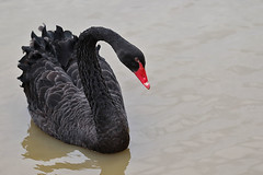 Black swan (Dragonwings55) Tags: blackswan cygnusatratus swans