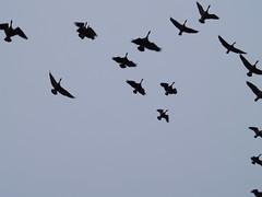 51-pb077072 (healthyself97045) Tags: geese ducks canadiangeese oregonbirds tualatinrivernationalwildliferefuge wintermigration beverlymason wwwtheradianttouchcom birding2014 tualatinriverbirds wwwelopeinoregoncom