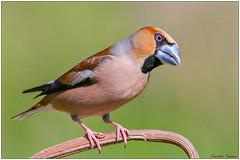 Frosone (Fausto Deseri) Tags: wild nature birds italia wildlife toscana sestofiorentino tc17eii hawfinch coccothraustescoccothraustes frosone parcodellapiana nikkorafs300mmf4 nikond7100