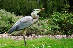 Moth Meal (J-Fish) Tags: sanfrancisco goldengatepark park bird heron greatblueheron ardeaherodias d300s 1685mmf3556gvr 1685mmvr