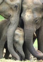 Protecting baby (Sallyrango) Tags: nature nationalpark safari elephants srilanka asianelephant babyelephant udawalawe asianwildlife wildelephants threeelephants srilankanmammals