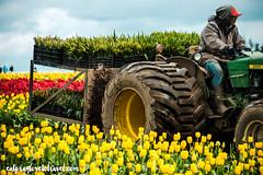 (PDXPeanut) Tags: flowers tractor clouds oregon landscape tulip farmer johndeere tulipfestival