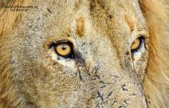 If looks could kill (lislmoolman) Tags: africa eyes lion safari predator carnivore