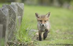 Fox Cub on the Prowl (Alastair Marsh Photography) Tags: graveyard animal animals fur mammal wildlife fox gravestone mammals foxes britishwildlife redfox foxcub smallmammal smallmammals babymammal britishmammal britishmammals britishanimals britishanimal