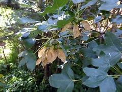 Acer monspessolanum L. 1753 (SAPINDACEAE) (helicongus) Tags: spain acer sapindaceae acermonspessolanum jardnbotnicodeiturraran