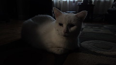 Mystic (universalcatfanatic) Tags: cats mystic white cat green eyes eye lay laying carpet rug livingroom living room dark evening curtain endtable end table wood wooden hardwood floor circle circles square squares pattern sick ill renal failure kidney disease meatloaf pose