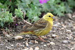 Yellowhammer (NickWakeling) Tags: nature birds wildlife norfolk yellowhammer oldcatton canon60d sigma150600mmf563dgoshsmcontemporary