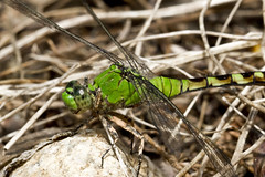 Eastern Pondhawk (brucetopher) Tags: summer macro green closeup female bug insect big wings flyer dragonfly wing bugs delicate powerful bigbug carnivore flier pondhawk flyinginsect femalepondhawk