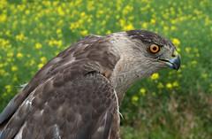 Cooper's Hawk (Accipiter cooperii) (Don Delaney) Tags: accipitercooperii coopershawk