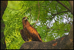 Black Kite (bodhijobs) Tags: kite black eos ef100400mm 7d canon lodi garden delhi ndmc birds raptors