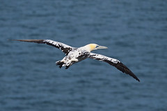 Come Fly With Me........ (klythawk) Tags: gannet inflight sea nature summer blue yellow grey brown black white olympus em1 omd 100300mm panasonic bemptoncliffs rspb eastyorkshire klythawk
