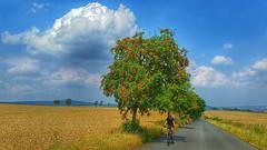 Summer delight (RainerSchuetz) Tags: summer biker biketrip tree clouds rurallandscape field countryroad rowan vogelbeerbaum eberesche
