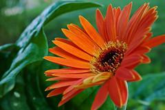 Gerbera Daisy 56 (Nikon Guy 56) Tags: flower gerberadaisy orange nature nikon d60 thebestofmimamorsgroups